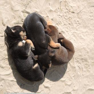 Finikounda Hunde (4)